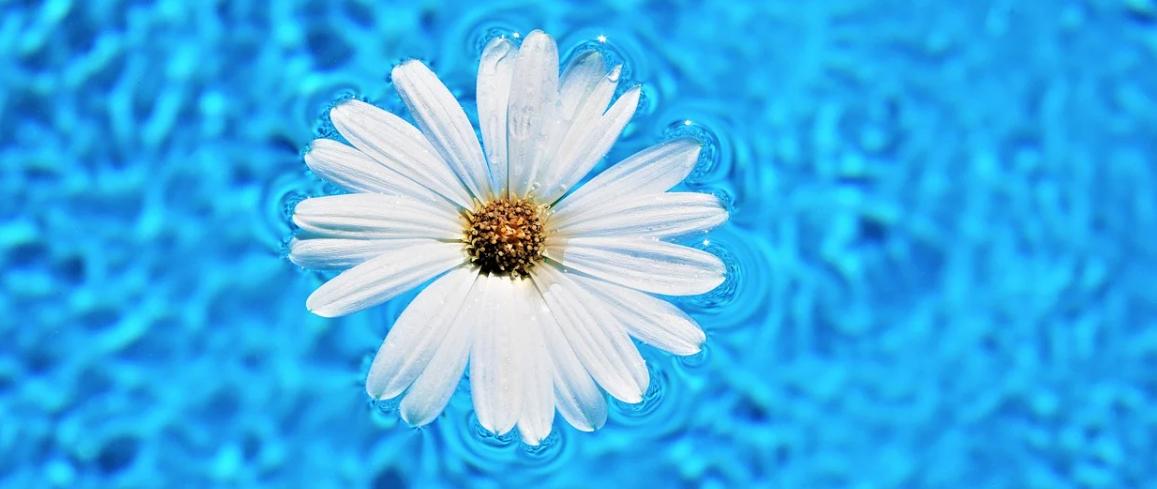 sedmikráska a voda